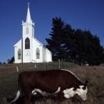 bodega church cow